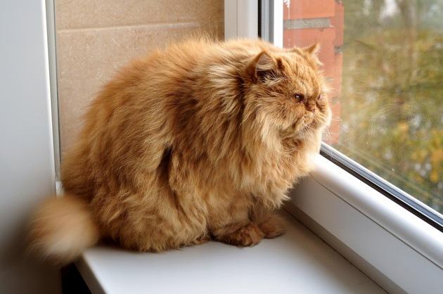 太っている長毛種の猫
