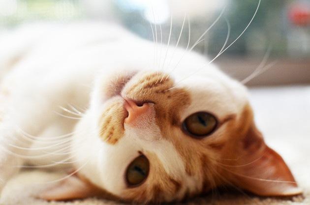 こちらを見ている茶トラ猫