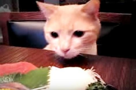 刺身を見つめる猫