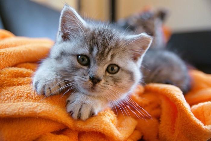 オレンジ色のブランケットの上にいるグレーの子猫
