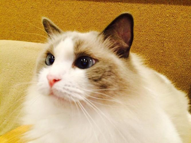 猫cafeラグドール2