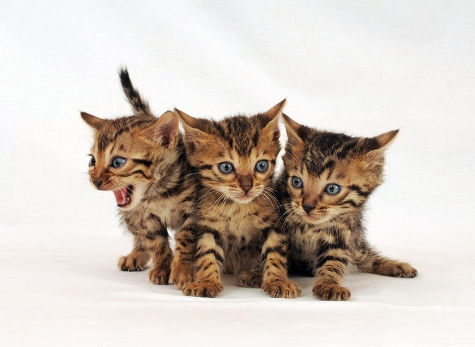3匹のベンガル子猫