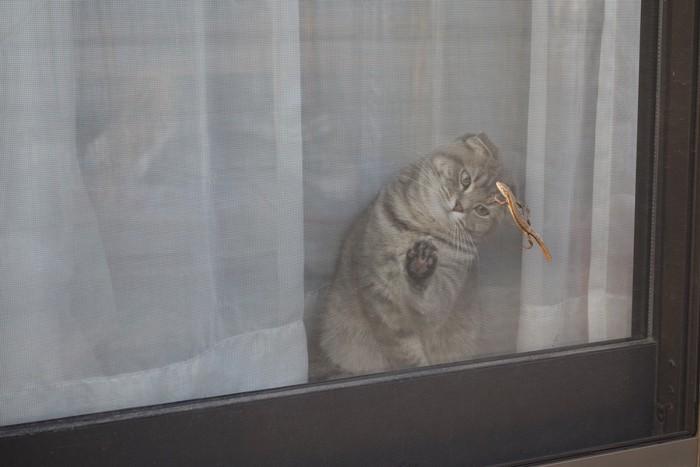 網戸を登るトカゲを見つめる猫