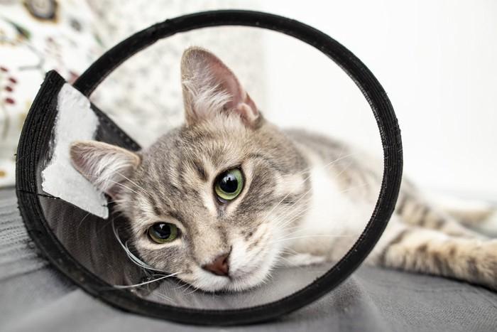 首にエリザベスカラー付けている猫