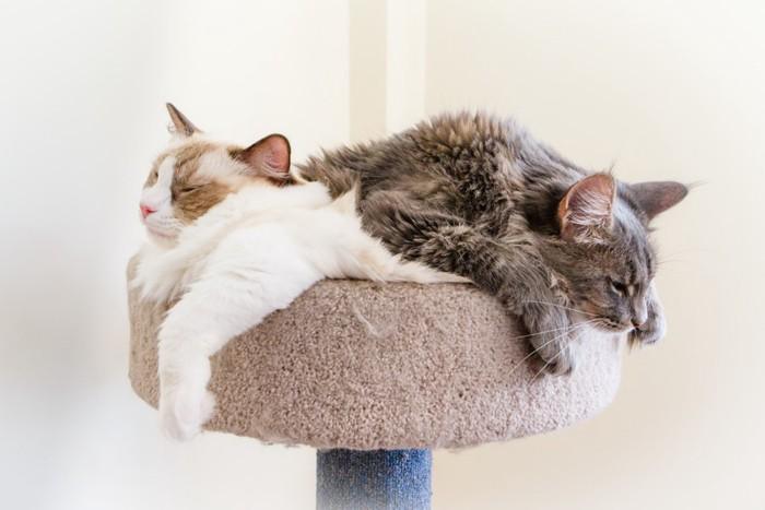 タワーで眠るラグドールとメインクーン