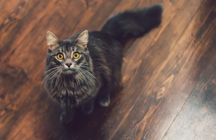 木の床に座ってこちらを見上げる猫