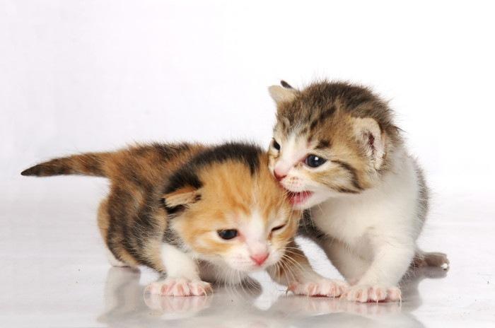 他の猫を噛む子猫