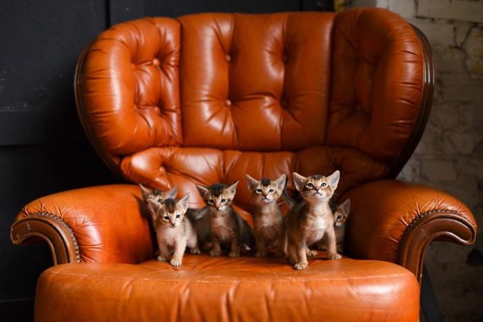 アビシニアンの子猫たち