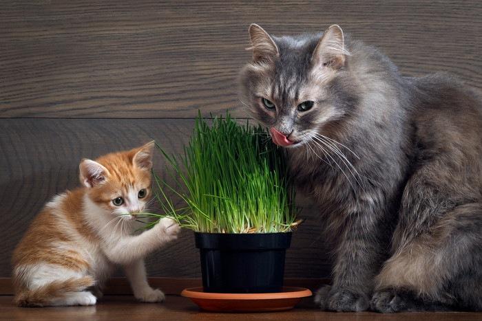 猫草を食べる子猫と長毛猫