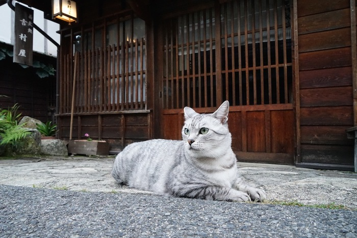 玄関前に座るサバ白の猫