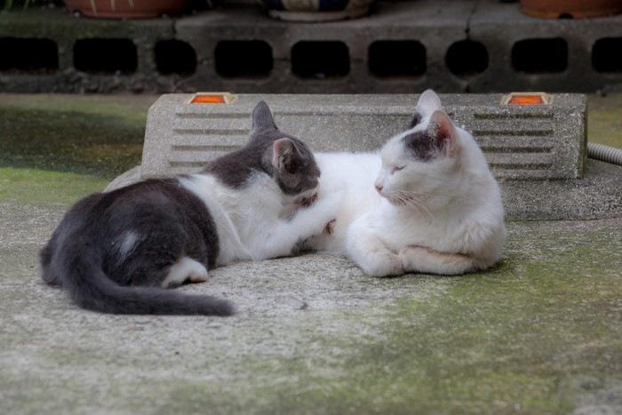 大きな猫に授乳する猫