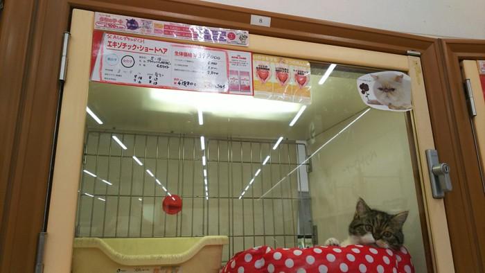 ペットショップの猫