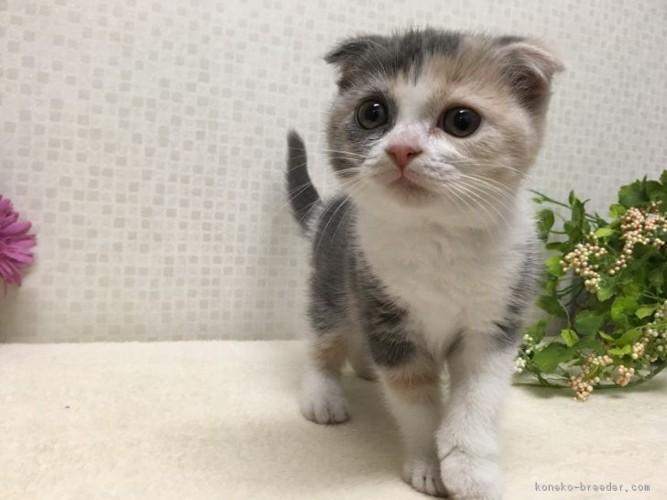 スコティッシュフォールドの子猫2
