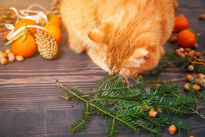木の実で遊ぶ猫