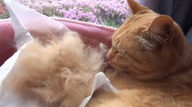 取れた毛と猫