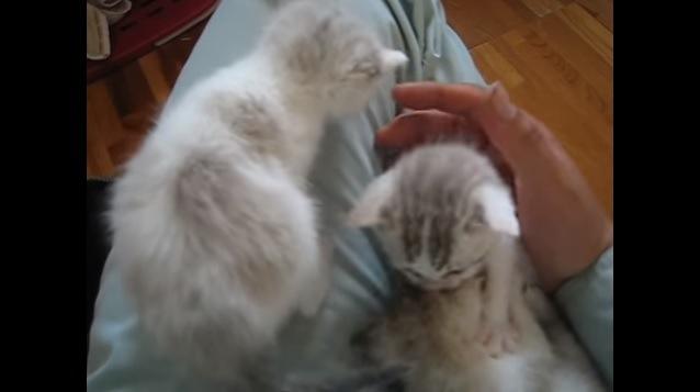 じゃれ合う子猫たち