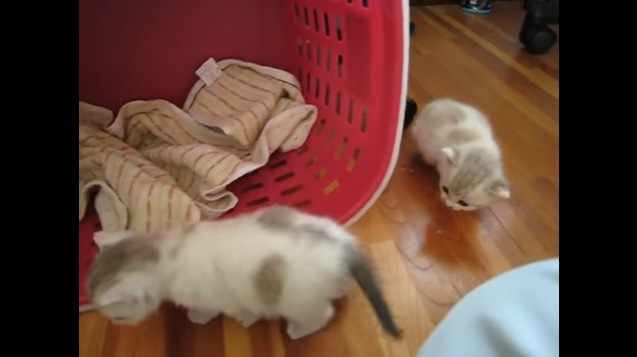 床を歩く子猫たち