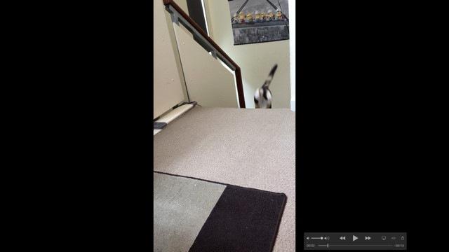 ボールを咥えて階段を上がる猫