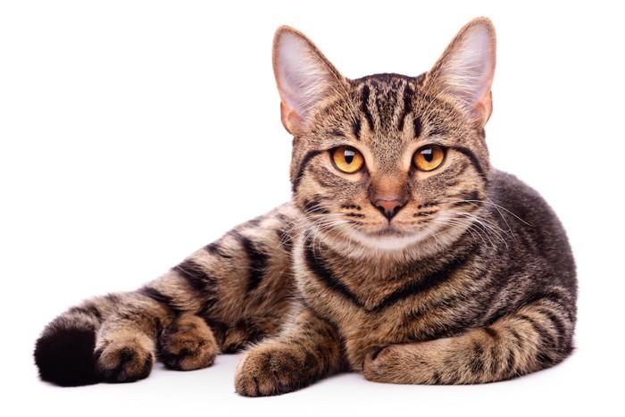 りりしい顔をして見つめる猫