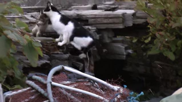 子猫をくわえてジャンプする母猫