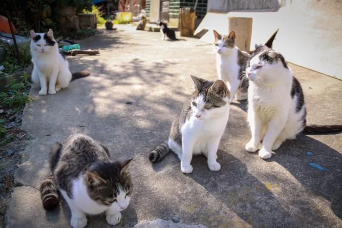 集まった猫島の野良猫たち