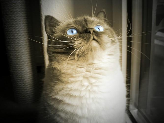 目がブルーのブリティッシュショートヘアのモノクロ写真