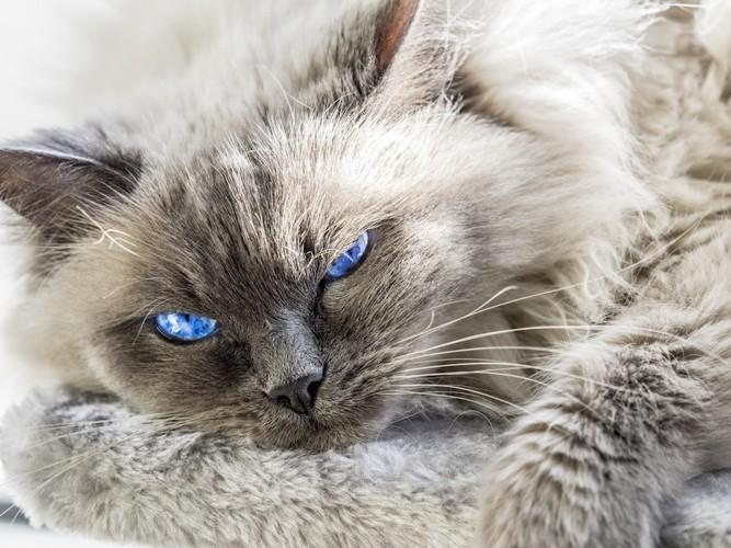 青い目の長毛猫