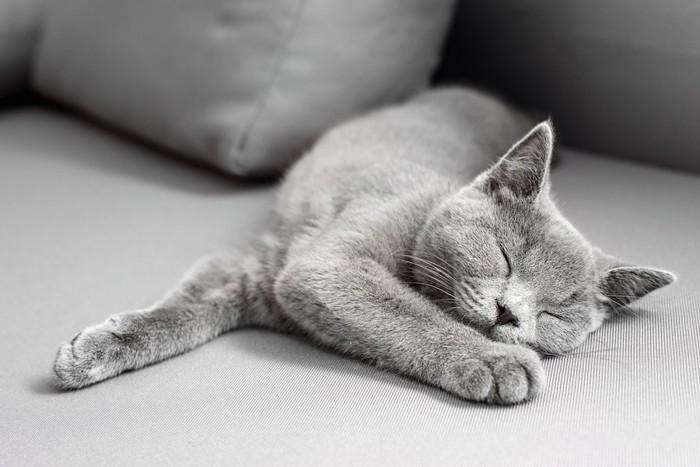 ソファーで眠るグレーの猫