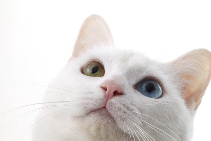 上を見つめるオッドアイの白猫
