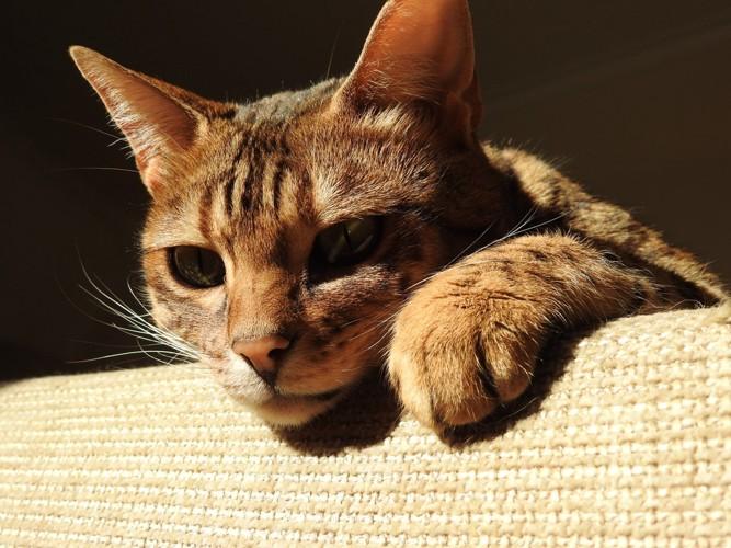 ソファから見下ろすベンガル猫