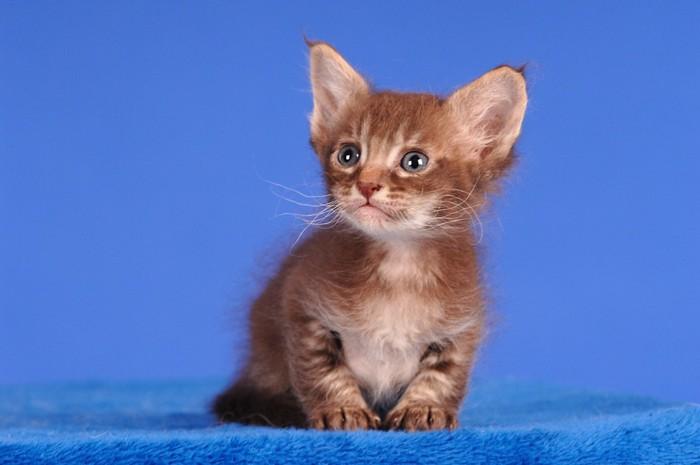 ラパーマの子猫