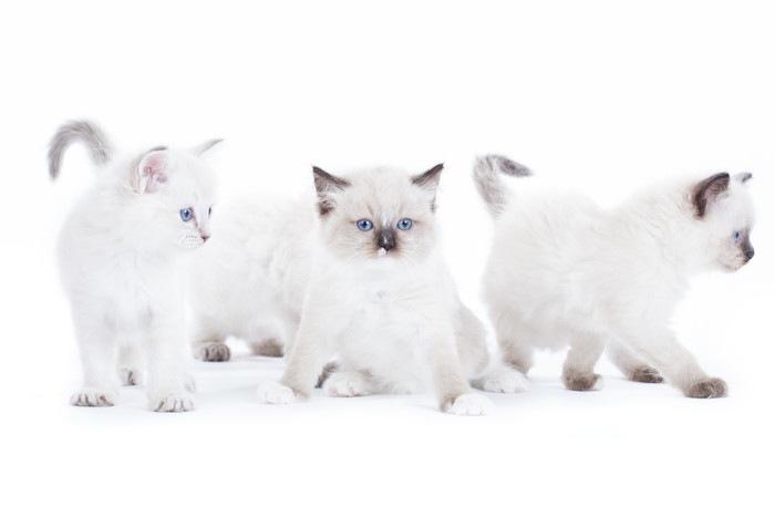 3匹のラグドールの子猫
