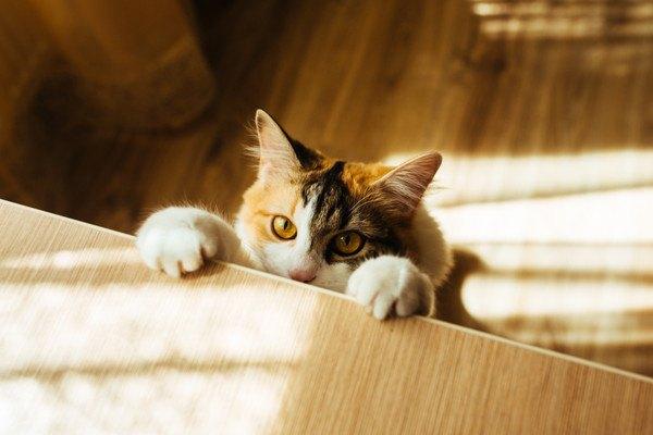 机に手をかける三毛猫
