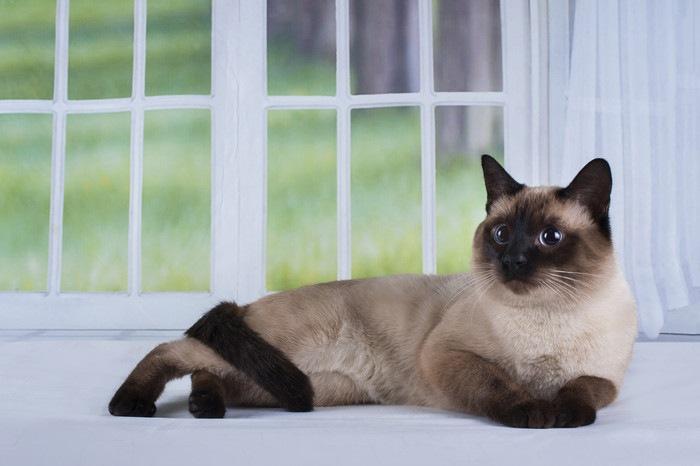 窓辺にいるサイアミーズ