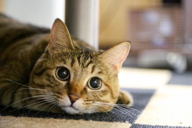 見つめる成猫