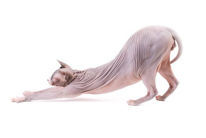 伸びをするスフィンクス