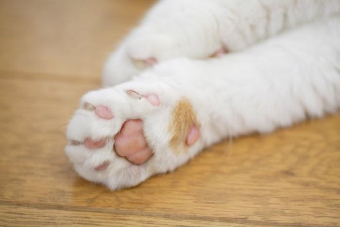 クリームパンのような白猫のピンクの肉球