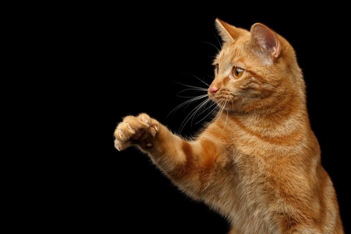 前足をあげる猫