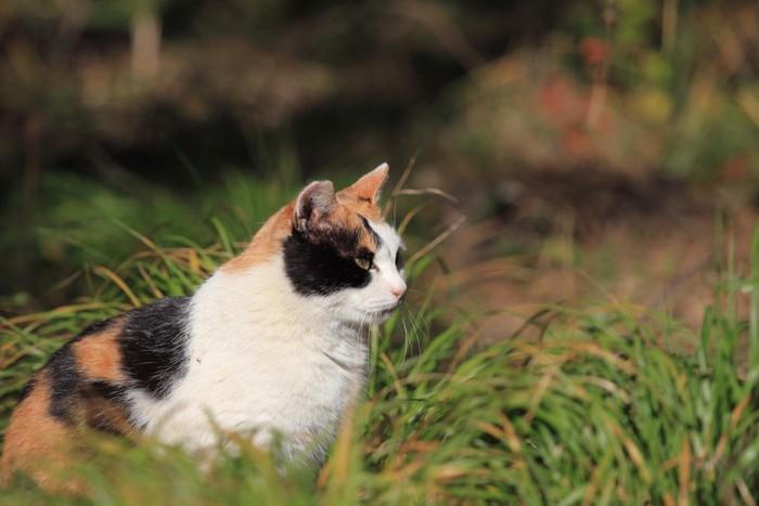 草の中で座っている三毛猫