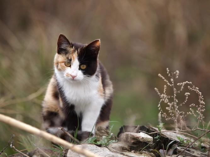 草むらの三毛猫