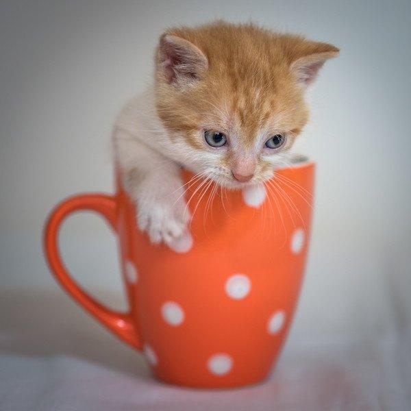オレンジのカップに入る子猫