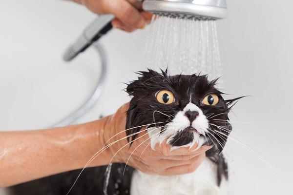 シャワーをかけられた黒白猫