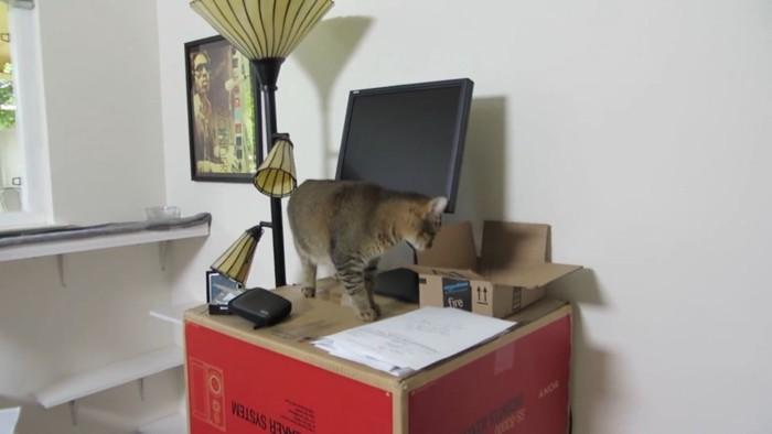 ダンボールを探る猫