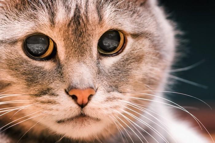 悲しげな表情の猫の顔アップ