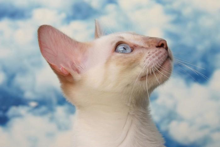 雲の背景と猫の横顔