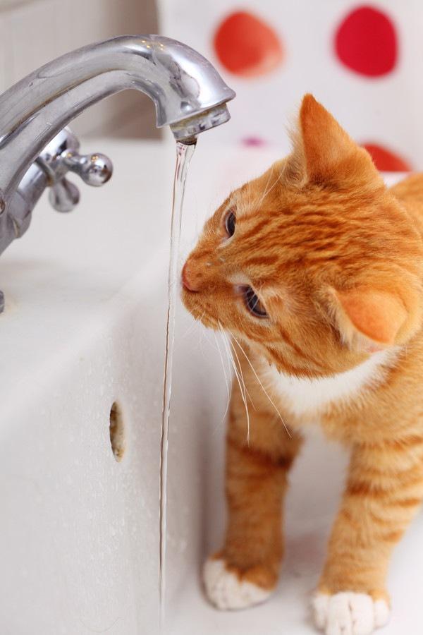 蛇口から飲む猫