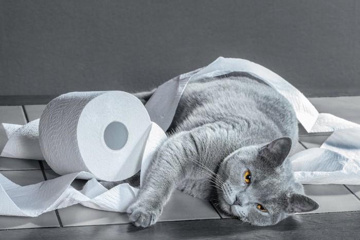トイレットペーパーで遊ぶグレーの猫