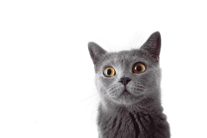 耳を立てて驚いた顔をする猫