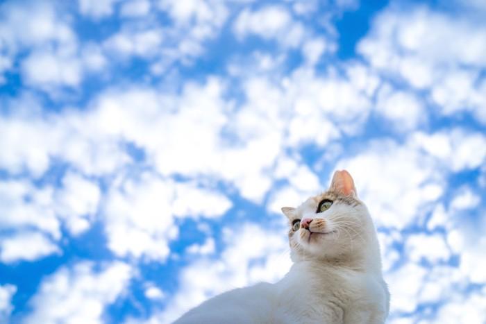 秋空と身体能力の高い三毛猫