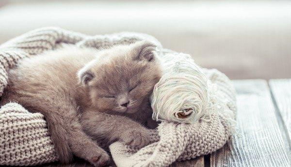 セーターで丸くなって寝る猫